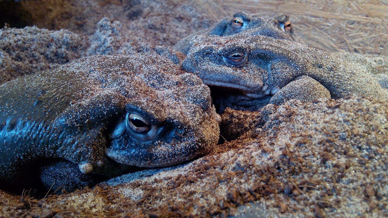 Magic Toad - 5MeO DMT - Psilohuasca com